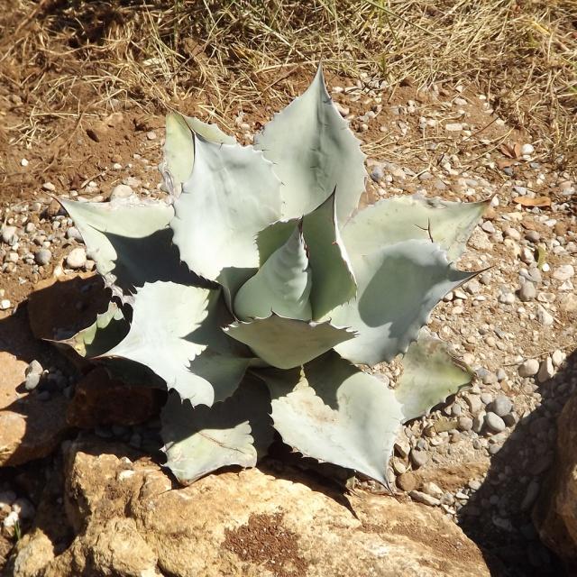 Agave ovatifolia 207839agaveovatifolia1