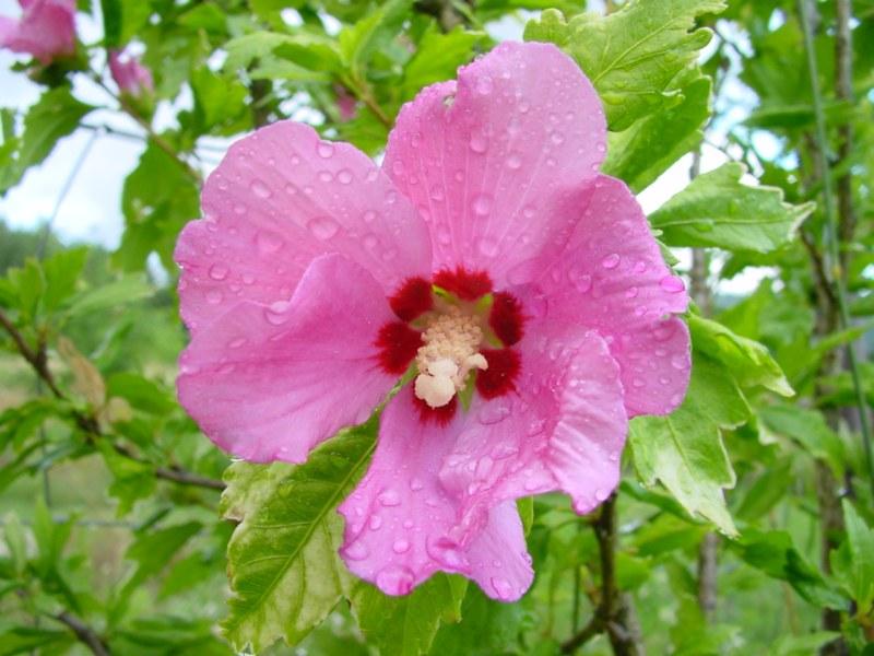 Althea - Hibicus syriacus Pink 213295DSC06003800x600