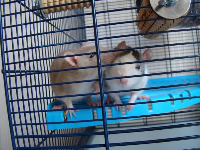Entrée dans le monde des rats avec ces deux ptits ratous ! (NEWS 24/02 214092DSC00655