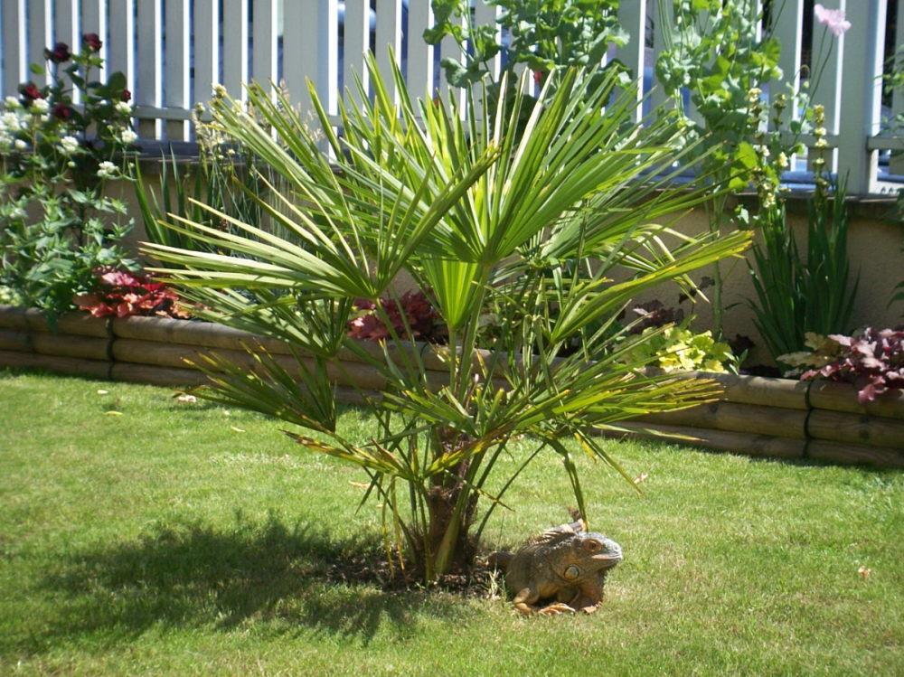 petit palmier deviendra grand... 216503Sacmain017