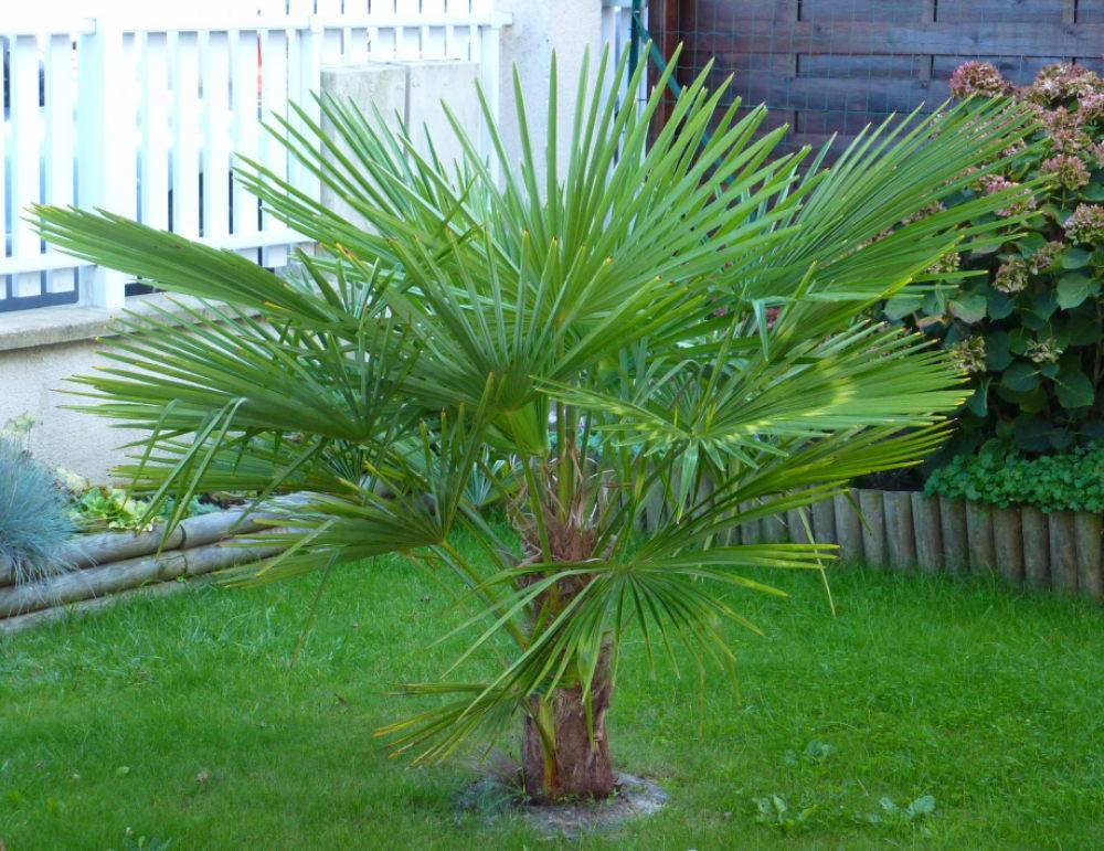 petit palmier deviendra grand... 218678Trachycarpus001