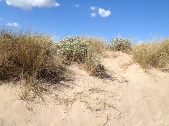 flore du littoral : plages, dunes, vases et rochers maritimes 220569IMG0426