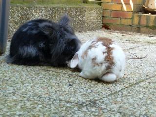 Nina, lapine bélier, née en aout 2011 - Page 8 223038P1160612
