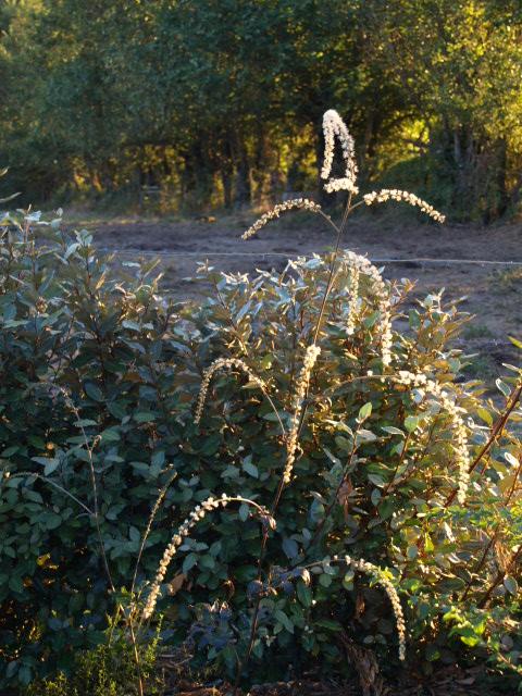 Cimicifuga  - actaea racemosa 224301P9036691