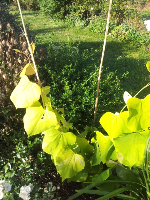 cercis canadensis hearts of gold 22880420160802200306