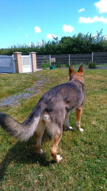 Photos de vous et vos chiens en pleine activité (course, vtt,ring, ..) 232551Heidiegardienne