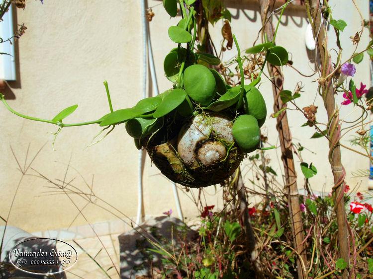 "Plante Dischidia et son Escargot  ""Curiositée) 237051511"