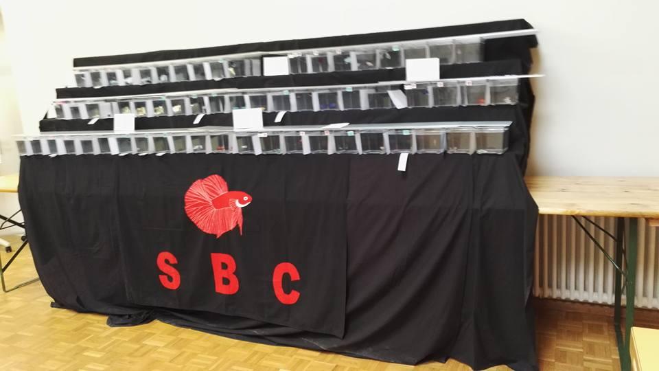 APRES Swiss Betta Show, Cernier, 2017, résultats, photos... 240316186981179355577165842204922132109328813992n