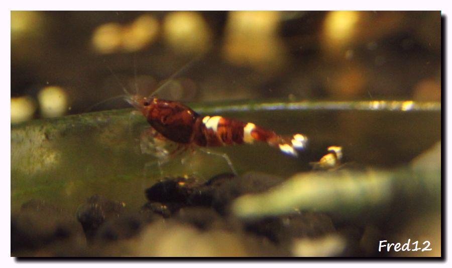 [VDS] crevettes taiwan bee, panda, king kong, TWBM f1, pinto... 242625redruby
