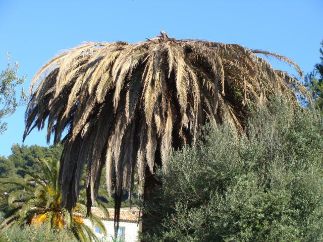 palmier - palmier, après le desespoir, un petit espoir.... 242712palmier005