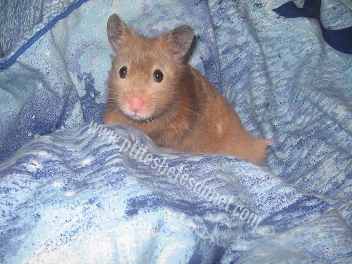 [ESPÈCE] Le hamster Syrien 246440Sanstitre2