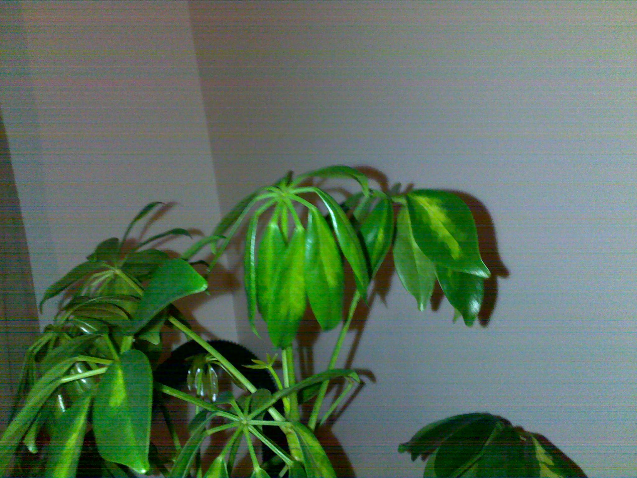 nouvelles feuilles de mon schefflera sont molles 24679820042013146