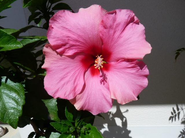 Voici mes quelques hibiscus en fleurs - Page 2 250290P1040889