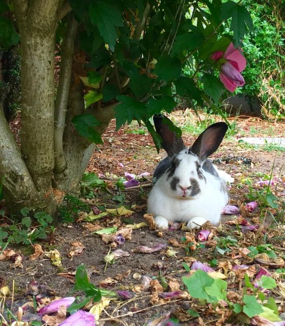Association White Rabbit - Réhabilitation des lapins de laboratoire - Page 2 253890843591image5