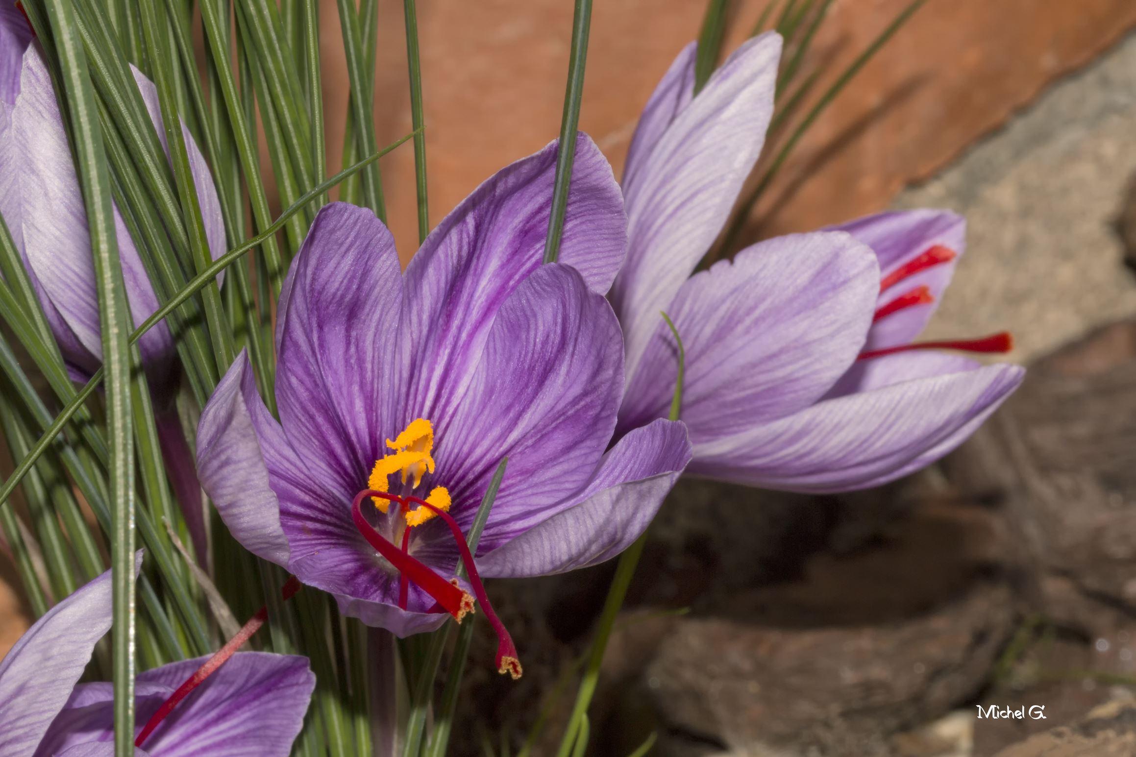 Fleur de safran 254025IMG0303fCopy