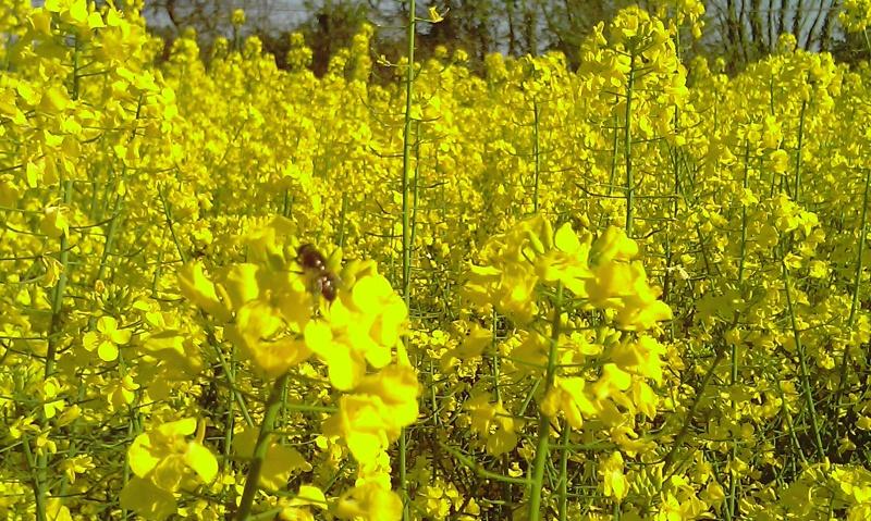 Les abeilles n'aiment plus le colza. 256150IMAG2194