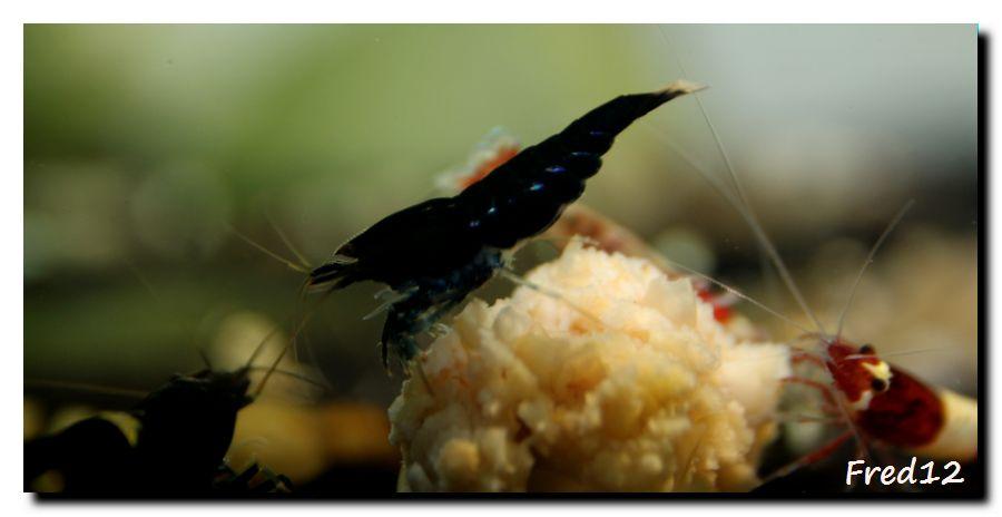 [VDS] crevettes taiwan bee, panda, king kong, TWBM f1, pinto... 256424kkfullblack