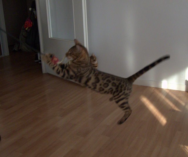 Sweety Bengal Félis (portée Emy 17/05/10) - Page 10 257553P1060295