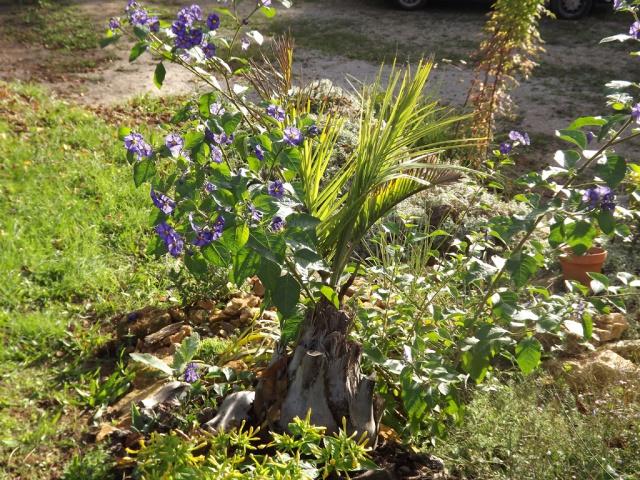 Solanum rantonnetii 259125butiasolanum
