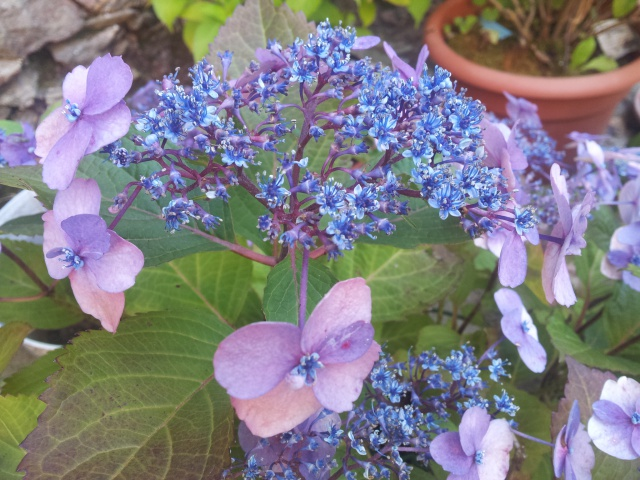 hortensia - Page 32 26123420170703203202