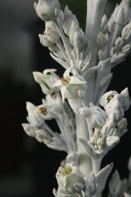 Des fleurs pour ce 1er janvier 268994cotyledonluciaevariegatafleurs