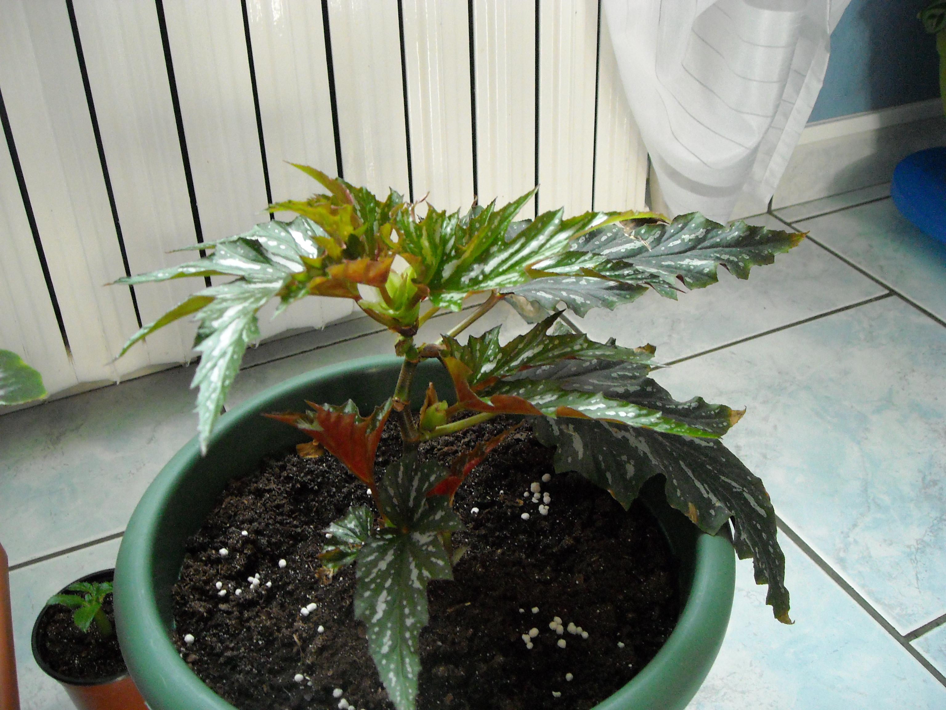 est-ce bien le platanifolia,ou autre 277834bgonia014