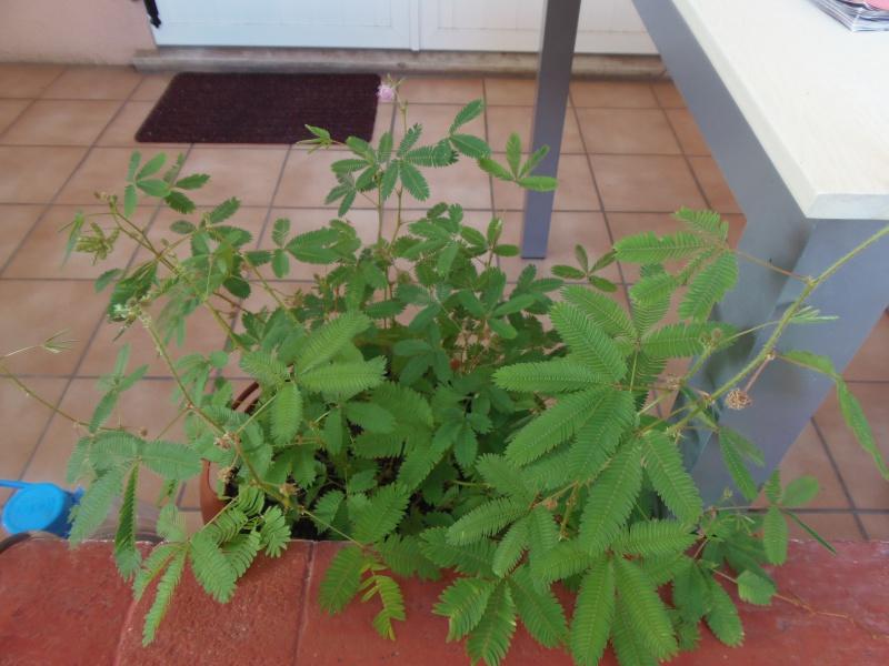 Mimosa pudica 290131photoforum2051