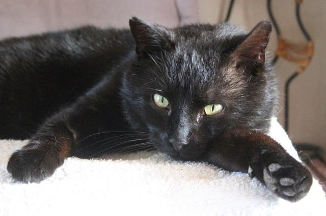 TIZON- mâle adulte noir-(fiv+)- FELIN POSSIBLE- à adopter. 293924263