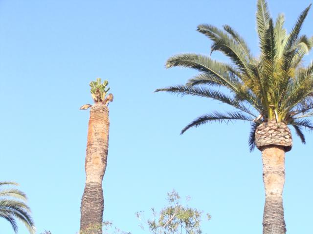 palmier - palmier, après le desespoir, un petit espoir.... 307319palmier011