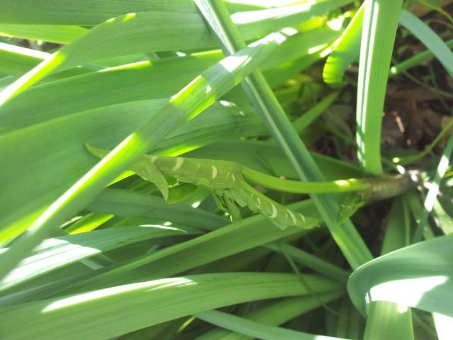 Gouet serpentaire  dracunculus vulgaris - Page 6 31056020170326112256