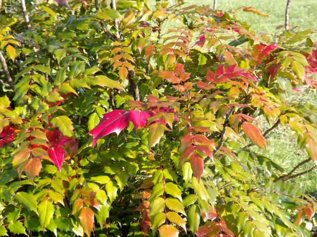 Mahonia japonica ? [identification non terminée] 312244mahonia2