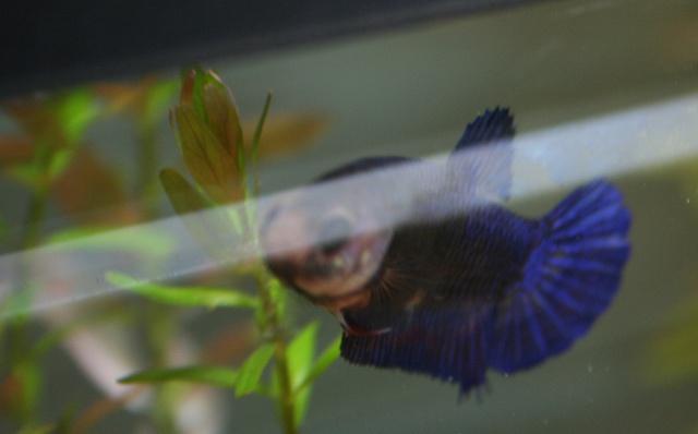Prunelle ; femelle HM marbrée violette 312626088