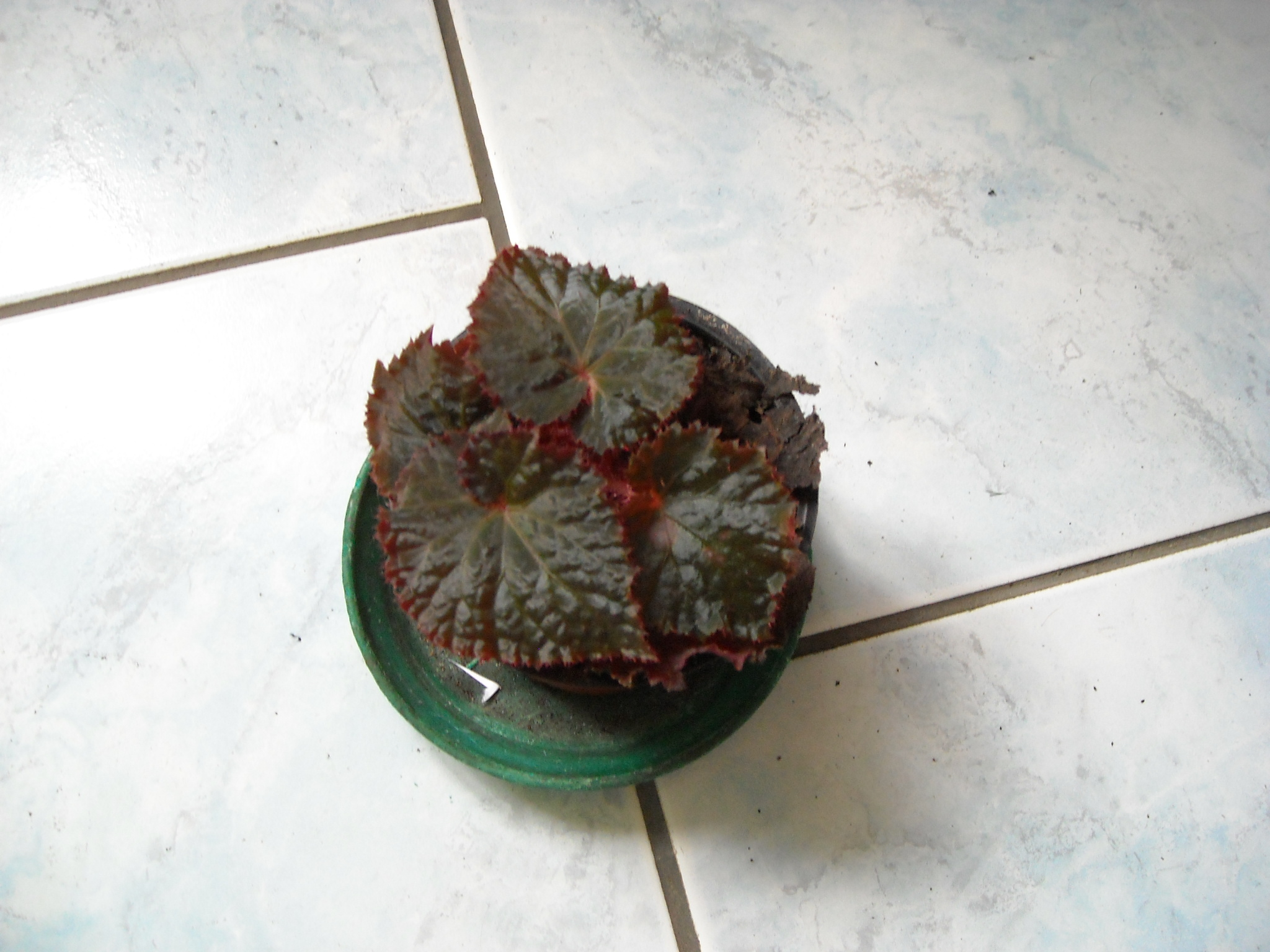 Begonia Baby Dress 313257begoniaamphalangetzizi008