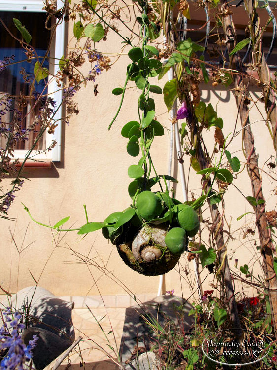 "Plante Dischidia et son Escargot  ""Curiositée) 315233663"