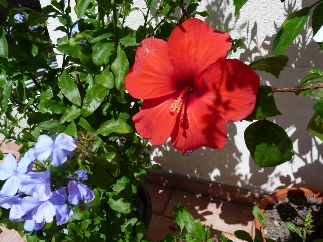 Voici mes quelques hibiscus en fleurs - Page 2 316776P1040859