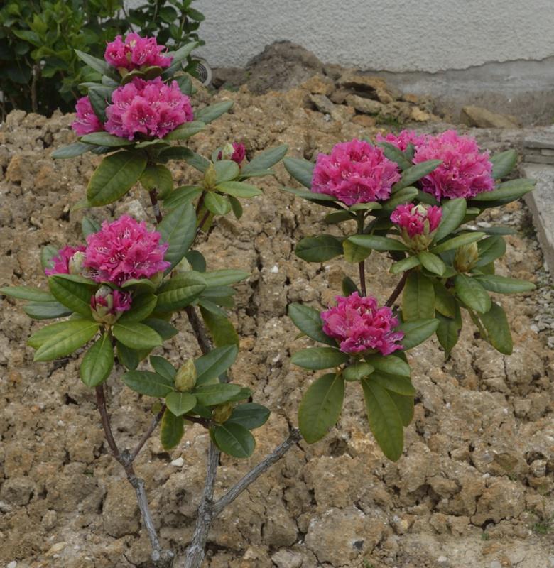 sauvetage d'un Rhododendron - Page 2 319567DSC5324