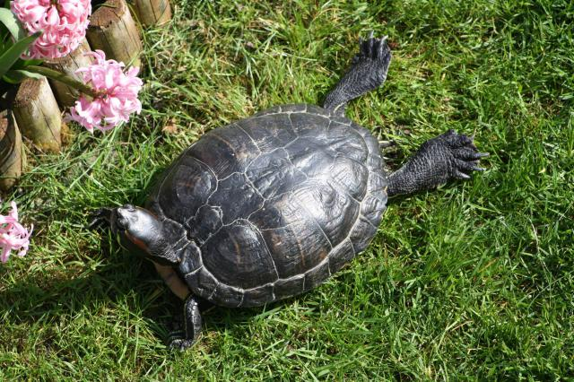 Ma tortue (pour le plaisir des critiques de Génia !!) 325911pepette1