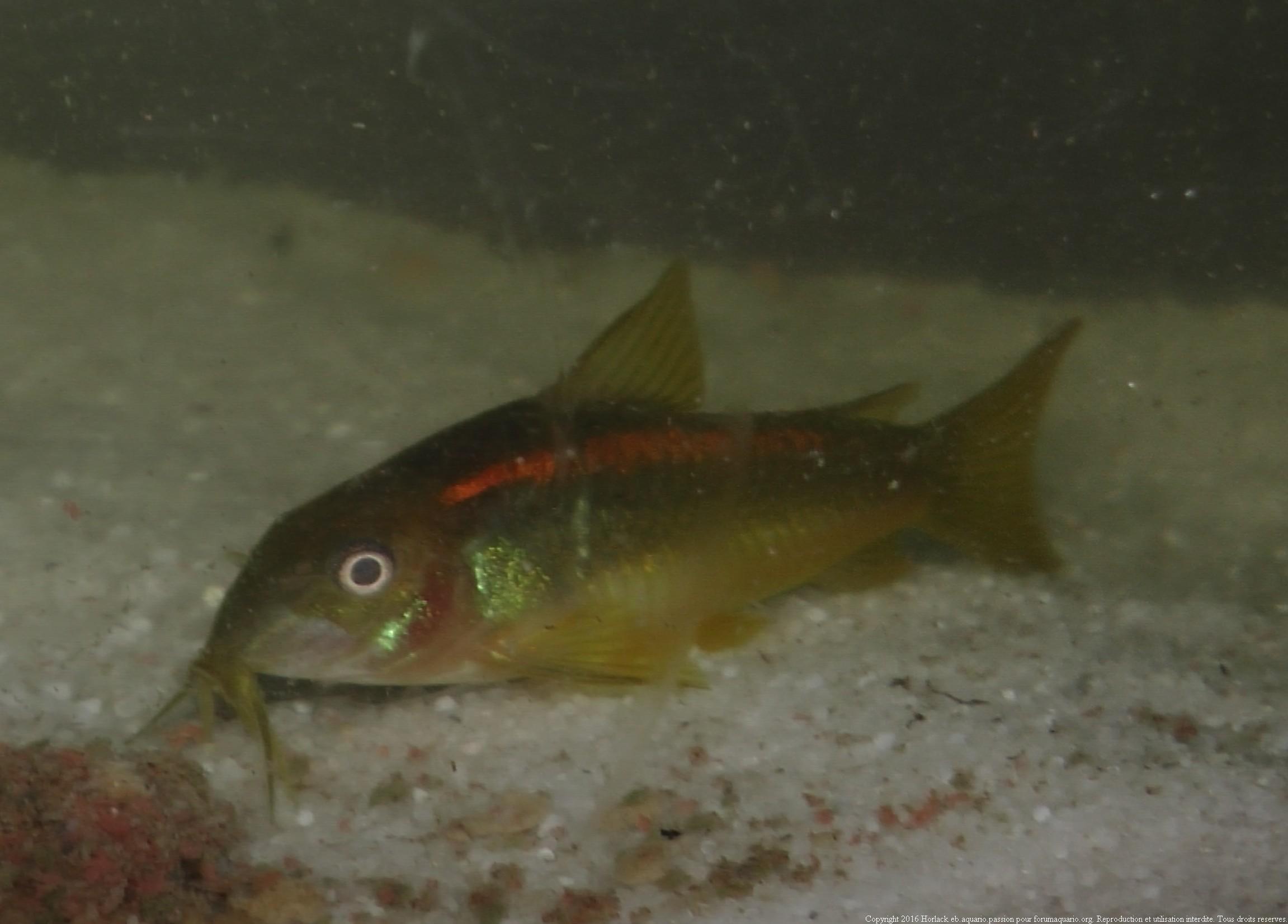 Ménagerie, plus de 3.000L d'aquariums - Page 2 327432CorydorasspCW0100015