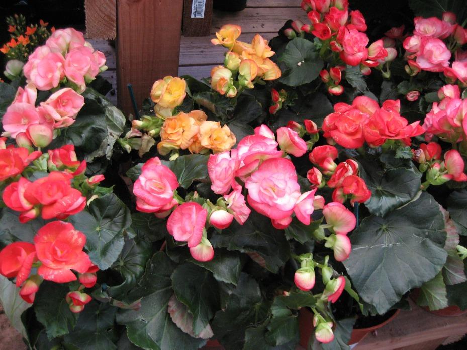 Fleurs,....fruit,.....tout ce qui se mange,...se boit....ou qui vient de la nature.......... - Page 2 328178Begonia201jpg