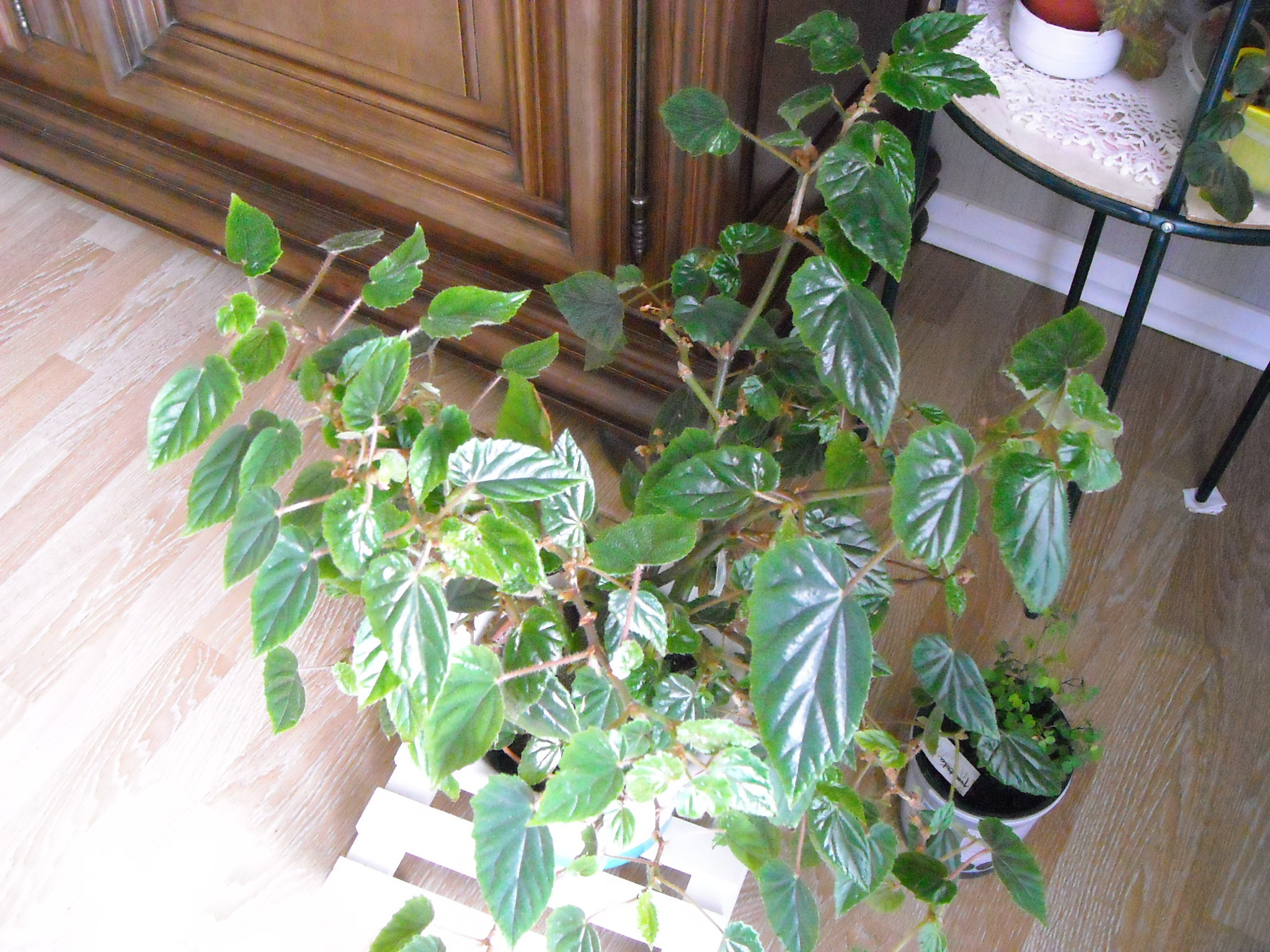 begonia margaritae 331756margaritae004