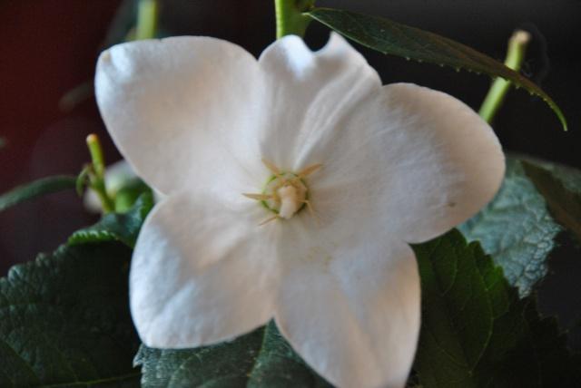 cadeau identifié : Platycodon grandiflorus forme blanche, une campanule chinoise  331865DSC0355