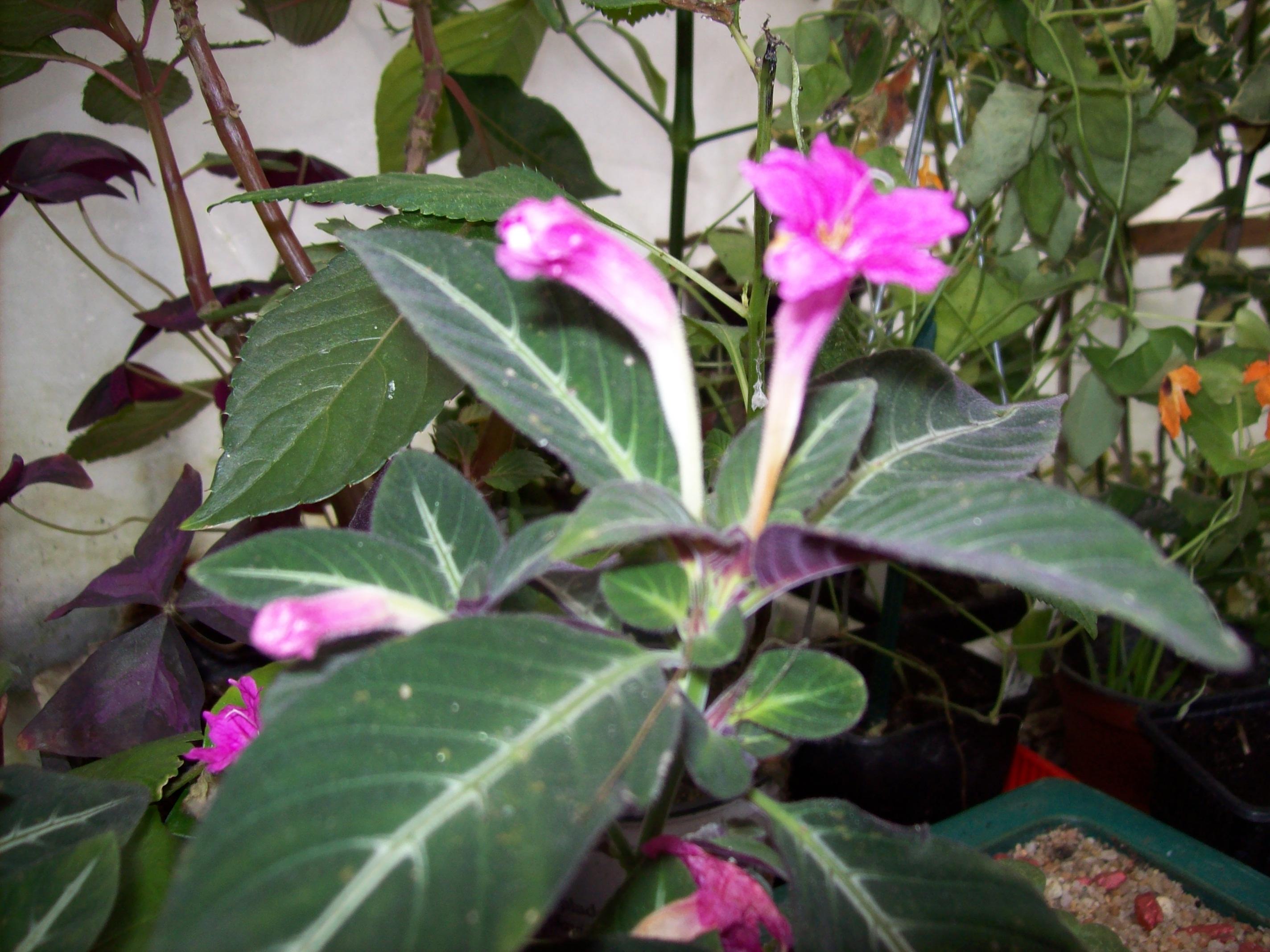 Quelques photos de plantes en fleurs en ce moment 332264ruelliamakoyanaJPG