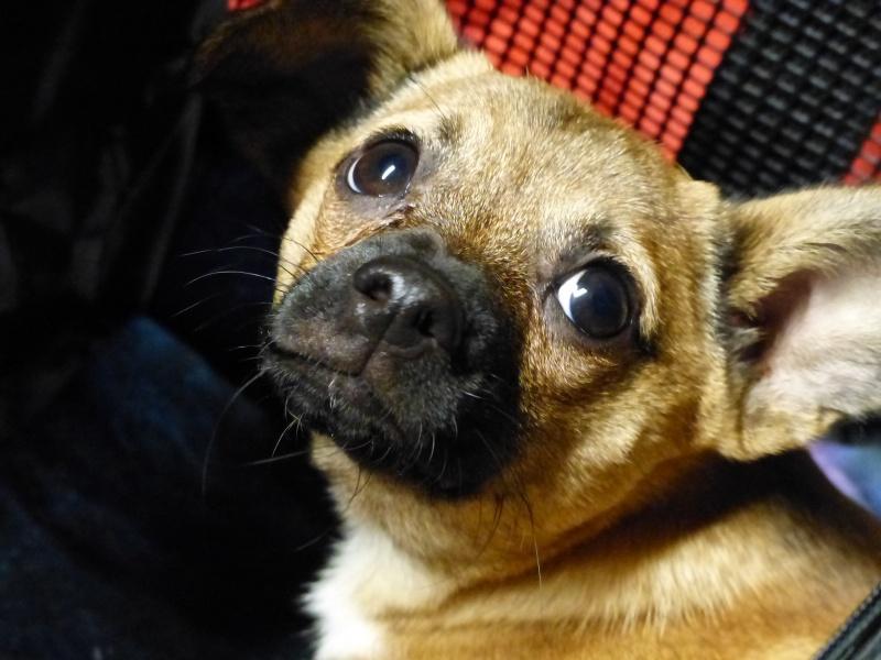Betty, mini chien, soeur de Dixie 334206P1020972