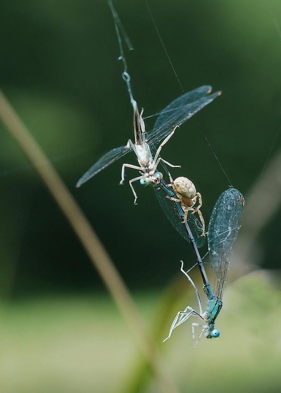 libellules prises au piège 335098ph15