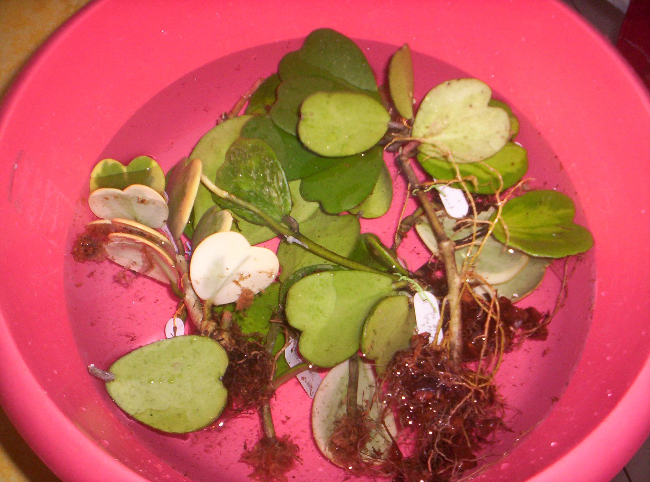 4 variétés de Hoya Kerii importés de thailande - Page 2 3355681000758