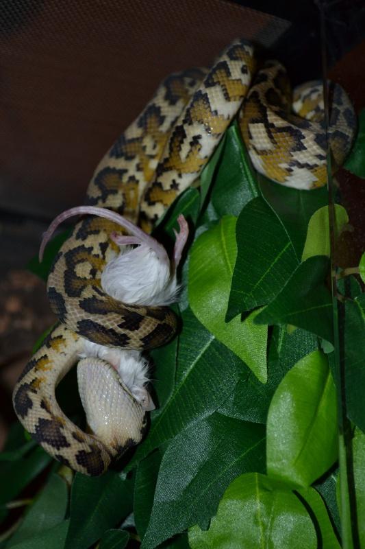 Morelia spilota variegata Irian Jaya [ Mon Wajah ] 338274DSC0132