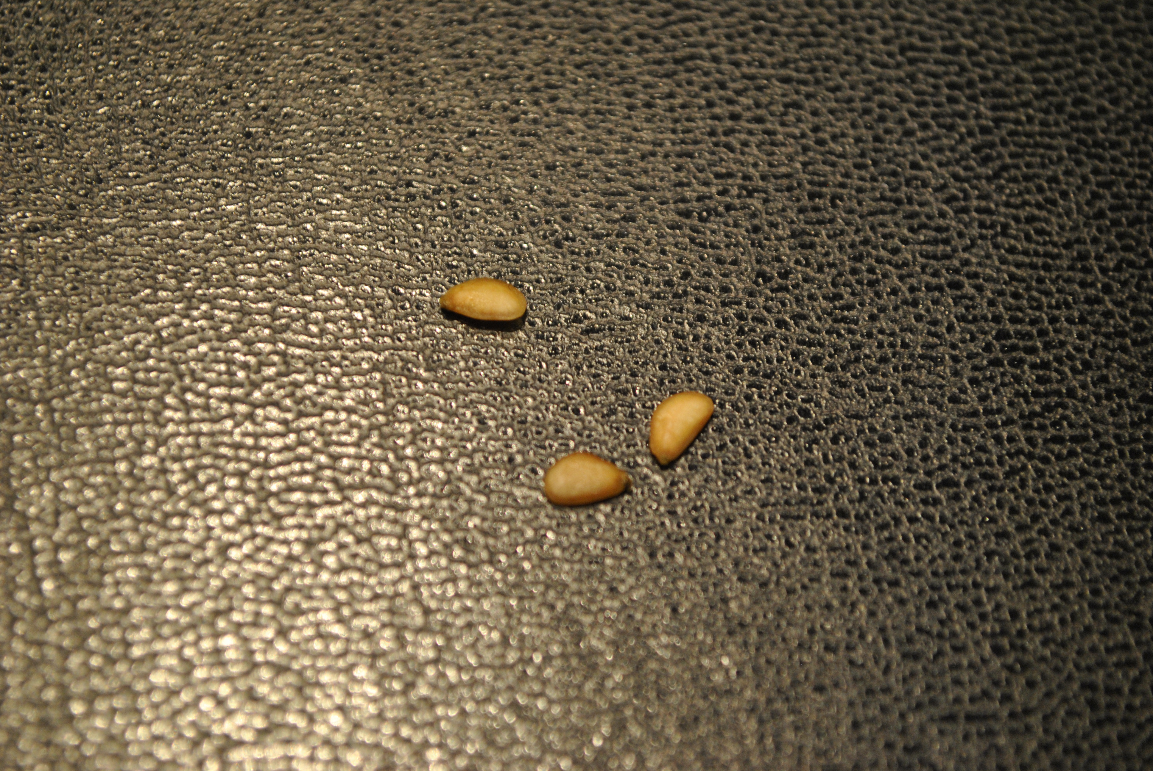 tentative de semis de schefflera  341108DSC4372