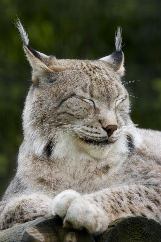 Lynx 343983IMG9825