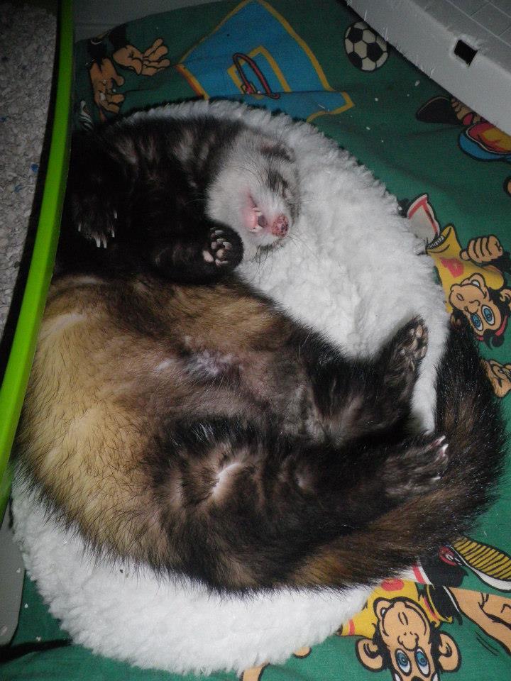 Tweety - furet mâle putoisé - adopté par Flandine 347302659064080530259467892054768744n