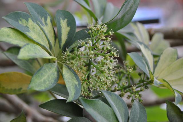 Après les orchidées, les hirondelles, mes plantes d'intérieur.... - Page 6 351593DSC3407JPG